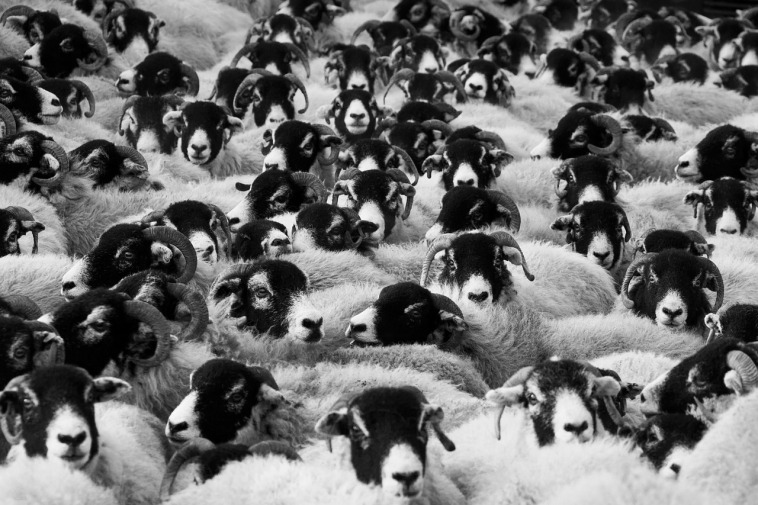 This flock of sheep will surf your site